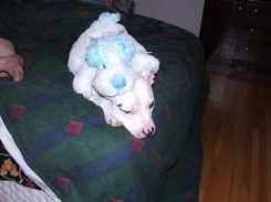 Blue and White Spotted Dog with Open eyes and a blue Ribbon